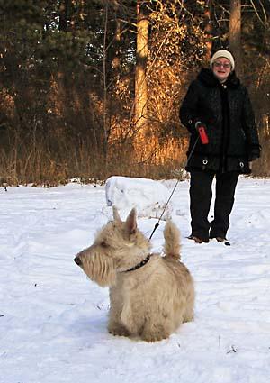 Пшеничный скотч-терьер на снегу