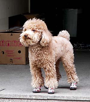 Коричневый пудель в ботинках