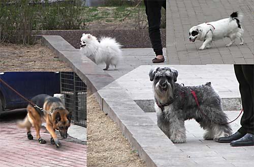 Собаки в Харбине на вечерней прогулке
